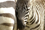 Fototapete Ungulate - Striped - Wild Mammal
