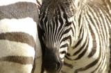 Fototapeta ungulate - striped - Wild Mammal