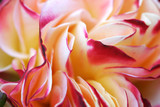 rose macro poster
