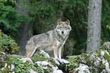 Fototapeta zwierzę - myśliwy - Dziki Ssak
