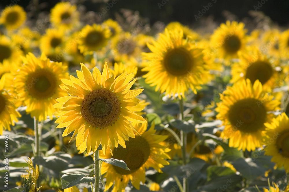 rolnictwo żółty słońce - powiększenie