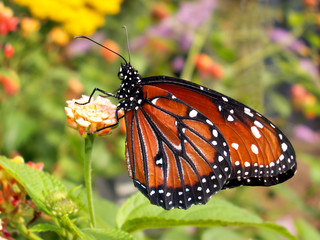 queen butterfly lands in flower garden.