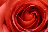 inside the rose poster