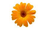 yellow wet gerber daisy over white poster