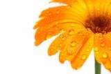 gerber daisy macro with droplets - Fine Art prints