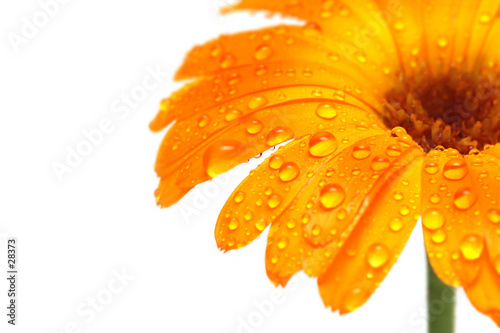 Poster Madeliefjes gerber daisy macro with droplets