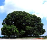 enormous banyan tree
