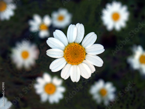 close up of a daisy patch.