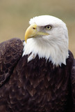 bald eagle, head and shoulders poster