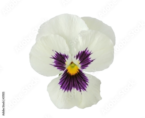 design elements: white pansy