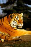 evening tiger poster