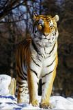 handsome tiger poster