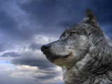 canadian wolf - Fine Art prints