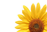 sunflower over white poster