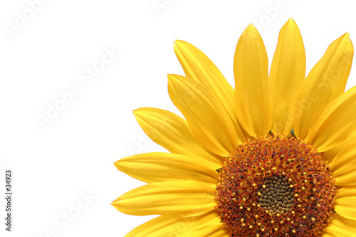 sunflower over white