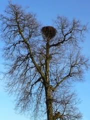 stork nest in a bare tree