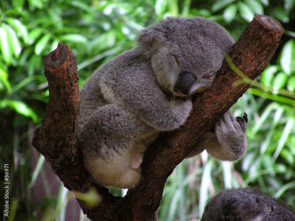 drzewa spania senny - powiększenie