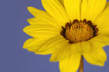 yellow daisy on blue poster