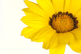 yellow daisy on white poster