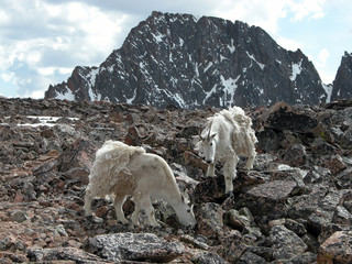alpine mountain goats