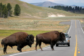bison crossing the road in yellowstone