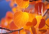 Fototapety golden aspen leafs