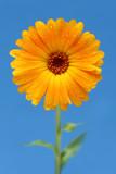 yellow gerber daisy poster