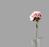 only pink carnation poster