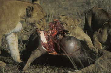 lioness and cub at wildebeest kill