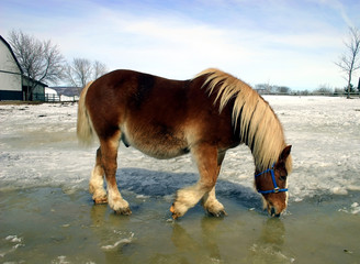 workhorse drinking water from melted snow