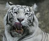 irbis, snow leopard poster