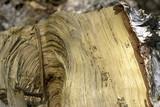birch log poster