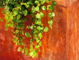 hanging ivy poster
