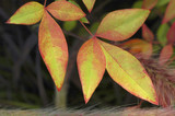 nandina leaves poster