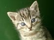roleta: kitten