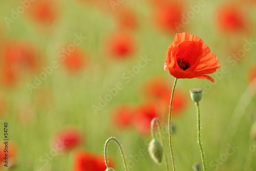 canvas print picture coquelicot