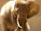 bull elephant poster