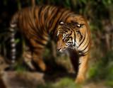 siberion tiger poster