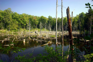 dead trees within a swamp