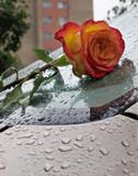 surprise rose for beloved poster