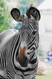 zebra-horse with strires poster