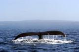 Fototapeta fauna - zwierzęta - Wodny Ssak