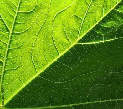 leaf of cymbling