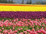 pink, yellow tulip poster