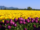 blooming purple , yellow tulip poster