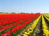 blooming tulip poster