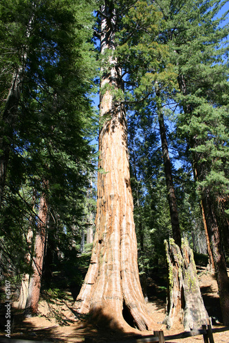 giant sequoia's