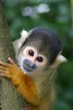 cute squirrelmonkey