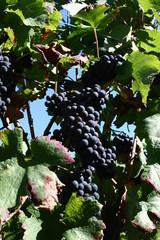 raisins ... pour du vin !!!