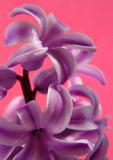 pink geocint poster